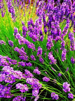 french lavender full bloom - French Lavender