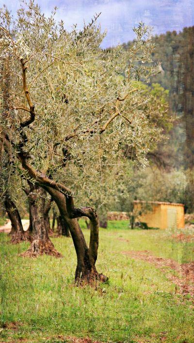 Olive tree provence