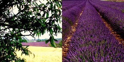 French country lavender
