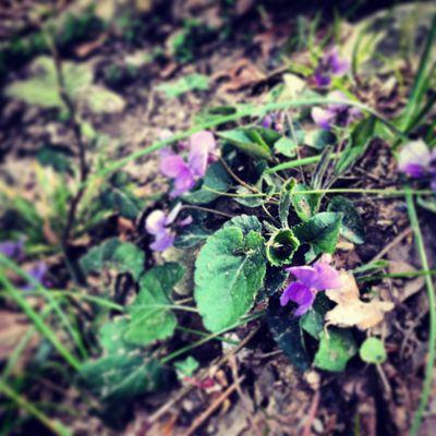 Wild Violets during Lent