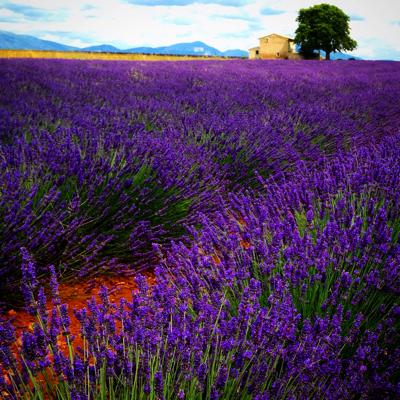 moustiers saint marie lavender provence - French Lavender