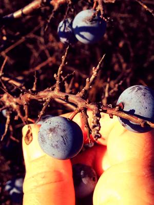 Age Old Fruit blackthorn