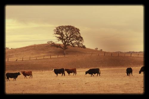 Corey amaro foothills cattle
