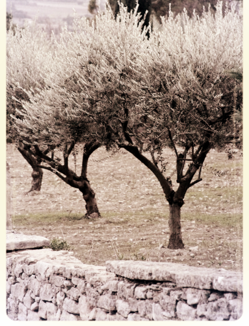 olive trees in france