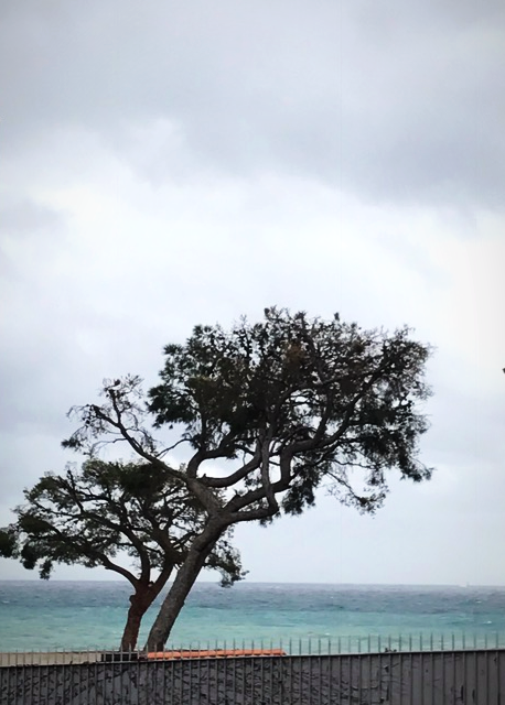 parasol tree cassis
