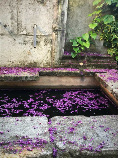 Judas tree petals in the fountain, French garden, Provence