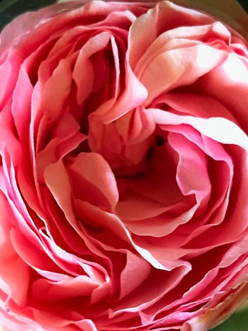 Garden Rose, Corey Amaro