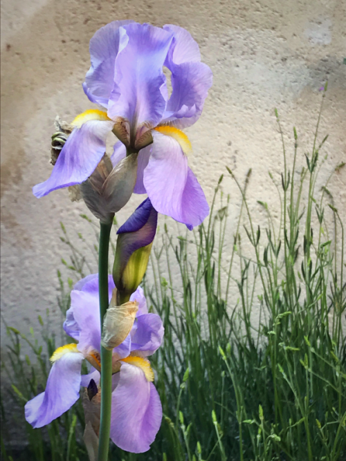 Iris amongst the lavender
