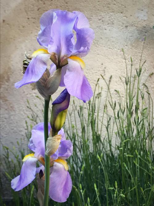 Iris amongst the lavender