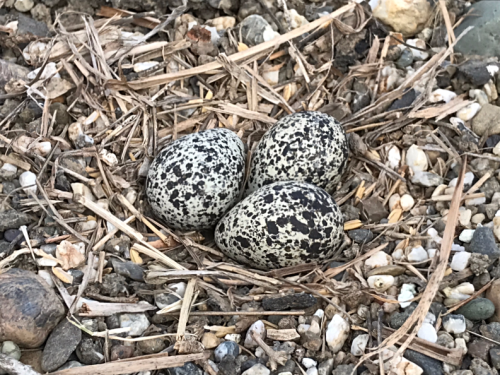 """Since there is no structure to stand out from its surroundings, a killdeer nest blends marvelously into the background. Furthermore, the speckled eggs themselves look like stones. The lovely photo at right shows an adult killdeer with the first egg laid in the """"nest,"""" which is just a slight depression in the gravel."""