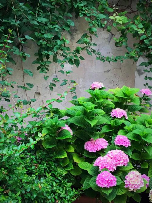 vine covered walls in Paris