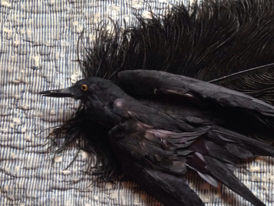 Taxidermy Black Bird and One Large Feather For a hat