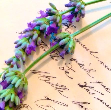 Lavender corey amaro provence