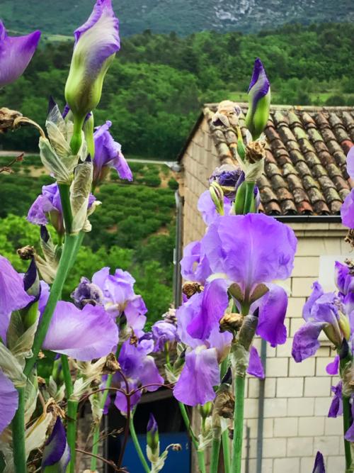 Irises in Provence