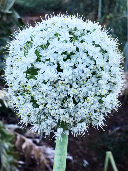 onion bloom