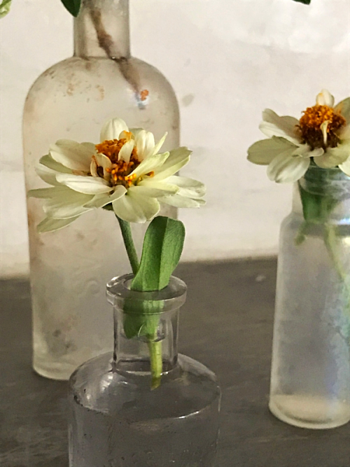 Zinnias in old bottles