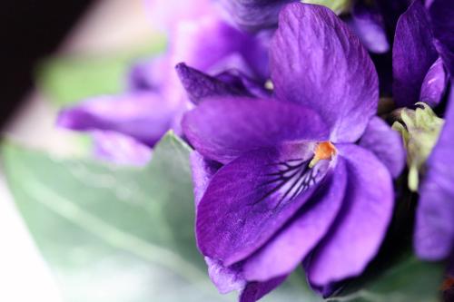 Violettes corey amaro