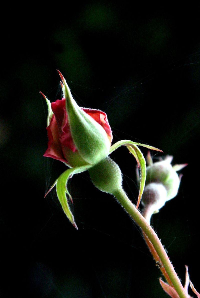 غنچه رز --- عکس زیبای غنچه گل رز - رز سرخ