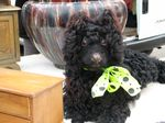 Black_french_poodle