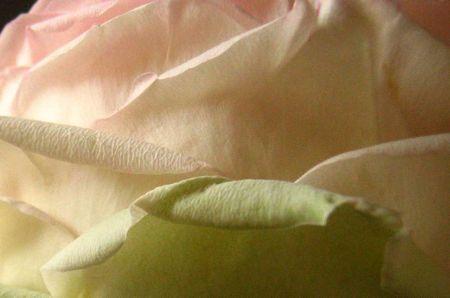 Pink_rose_petal
