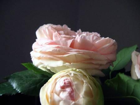 Rosesinbloom_2