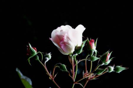 Rosebuds_2